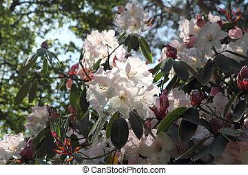 rododendro, florecer