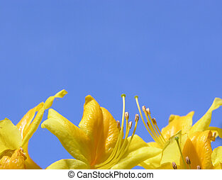 Rododendron flowers and blue sky