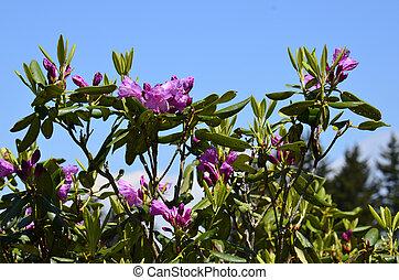 rododendron, (gen;, r.)