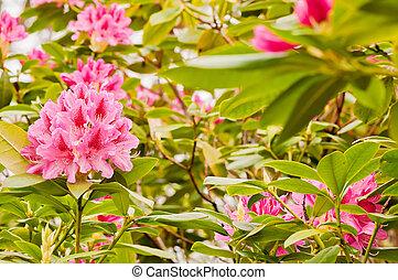 rododendron, menstruáció, jégpálya