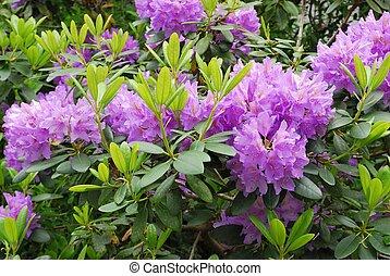 rododendron, rozkwiecony