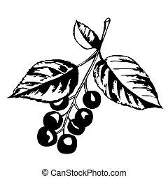 rodzaj, sylwetka, wiśniowe drzewo, wektor, tło, biały