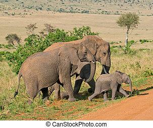 rodzina, słoniowy