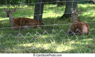Roe animals lie on grass in zoo fenced territory. Zoom out....