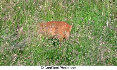 roe deer and fawn on a meadow