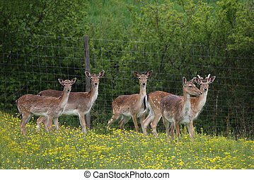Roe deer at the edge of the forest