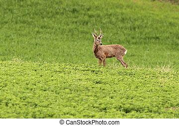roe deer buck grazing