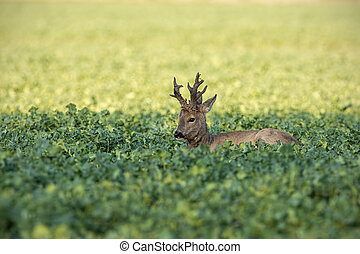 Roe deer buck resting on rapeseed oil field