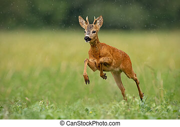 Roe deer buck running fast across green field in light summer rain