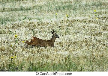 roe deer buck running in wheat field