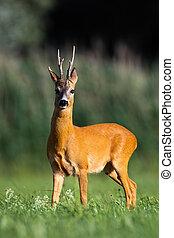 Roe deer buck standing on meadow in summer nature.
