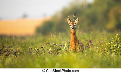 Roe deer buck standing proudly on a meadow with wildflowers at sunrise