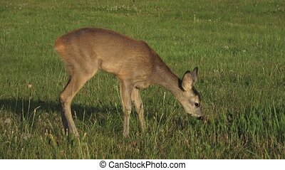 Roe deer, Capreolus capreolus, chewing green leaves