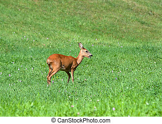 Roe Deer - Capreolus capreolus Doe in alpine meadow
