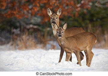 Roe deer, capreolus capreolus, family in deep snow in winter...