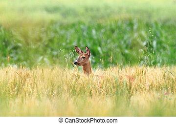 roe deer doe in wheat field
