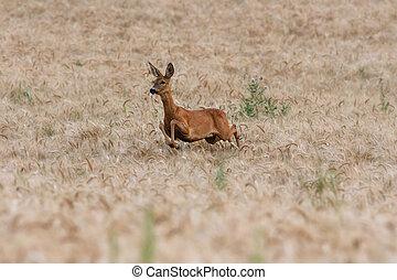 roe deer doe running in wheat field