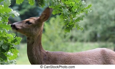Roe deer eating acorns from the tree, Capreolus capreolus....