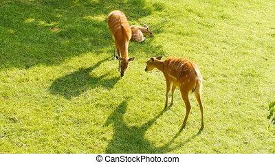 Roe deer eats grass on pasture