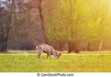 Roe deer, grazing in a field on early morning