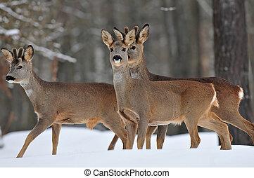 Roe deer herd in winter - Photo of roe deer herd in winter