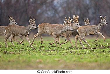 Roe deer herd - Photo of roe deer herd running