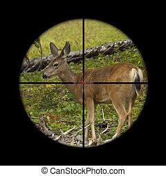 Roe deer in crosshairs - Young roe deer calf being targeted...