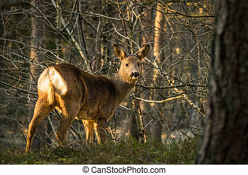 Roe deer in forest with trees in background