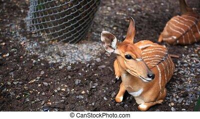Roe deer in Safari Park. Bangkok
