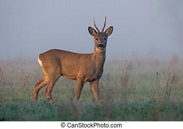 Roe deer in the morning fog