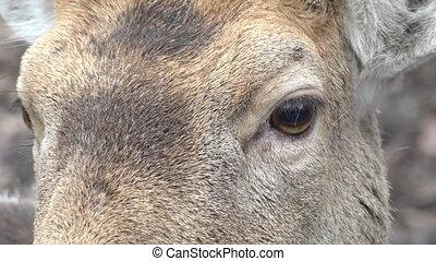 Roe Deer in the Wild. Closeup