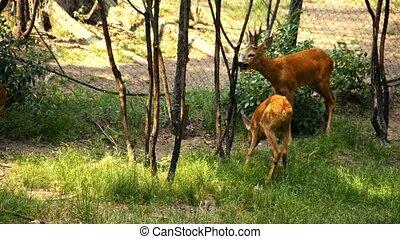 Roe Deer in the wild. 4K