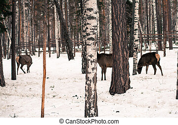 Roe deer in the winter in forest