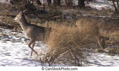 roe deer in winter  garden