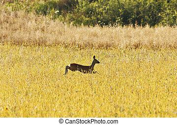 roe deer jumping in wheat field