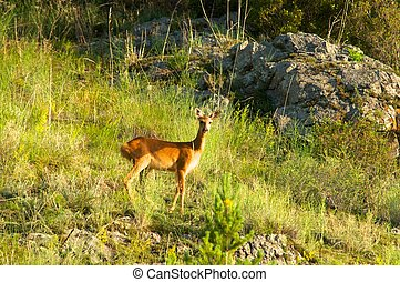 Roe deer on a background of green grass