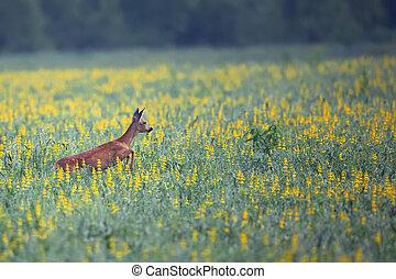 Roe-deer on the run
