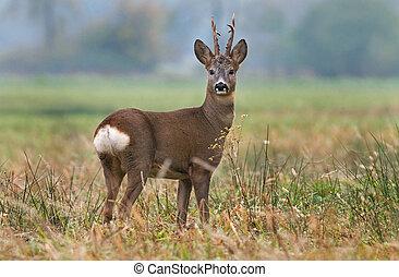 Photo of roe deer in a field