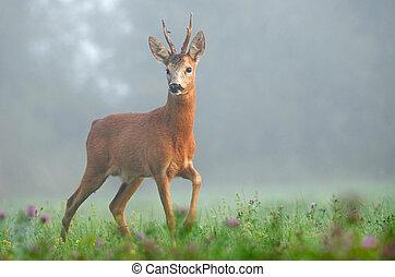 Photo of roe deer in the morning fog