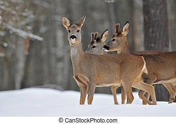 Photo of roe deer in winter