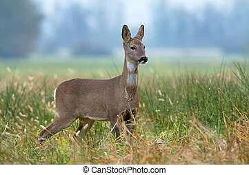 Photo of roe deer standing in a grass