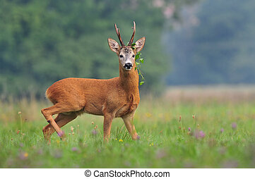 Photo of roe deer with weed around it's antlers