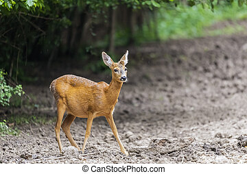 Roe deer portrait at the edge of the forest