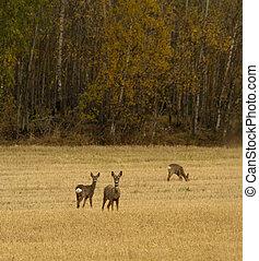 roe deer in field in early autumn
