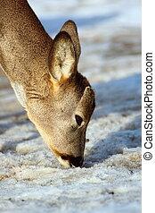 roe deer searching for food
