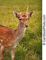 Shy roe deer in green meadow