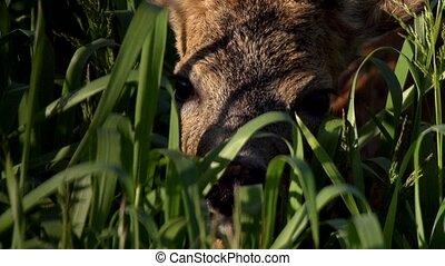 roe deer - springtime