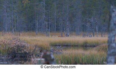 roe deer