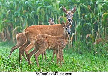 Roe deer with cubs - Photo of roe deer with two cubs