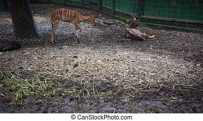 Roe deers in Safari Park. Bangkok - Roe deer in Safari Park....